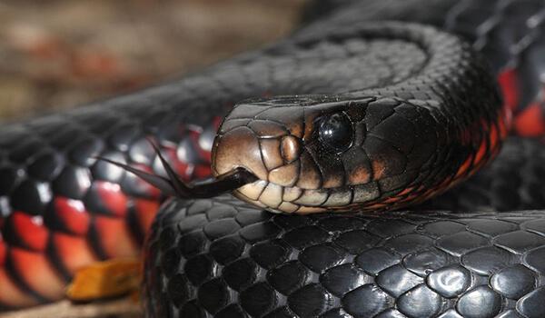 Фото: Как выглядит черная змея