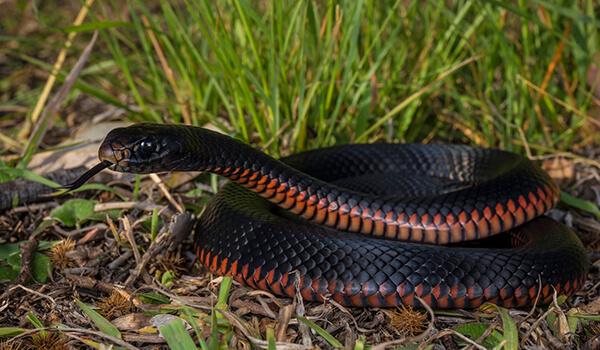 Фото: Большая черная змея
