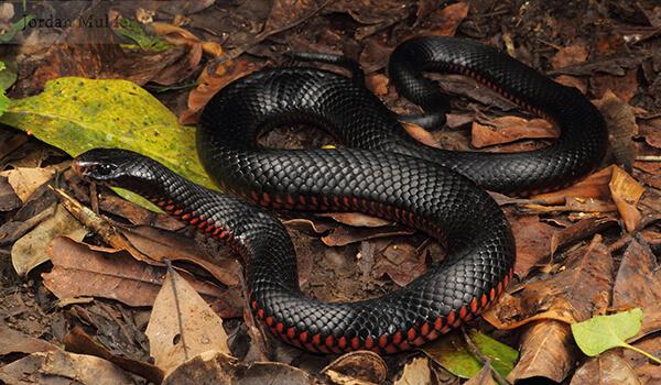 Фото: Черная змея в природе