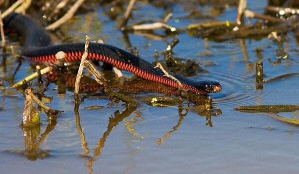 Фото: Ядовитая черная змея
