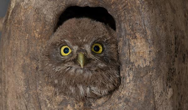 Фото: Птица домовой сыч
