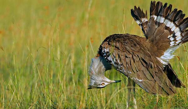Фото: Степная птица дрофа