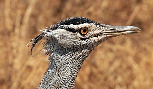 Фото: Птица дрофа