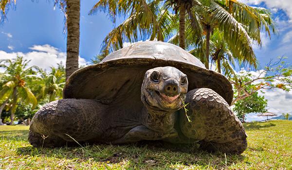 Фото: Гигантская черепаха в природе