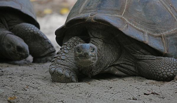 Фото: Гигантская черепаха из Красной книги