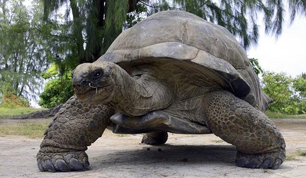 Фото: Гигантская черепаха на суше