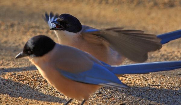 Фото: Пара голубых сорок