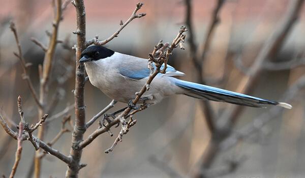 Фото: Птица голубая сорока