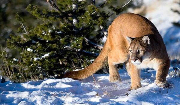Фото: Горный лев зимой