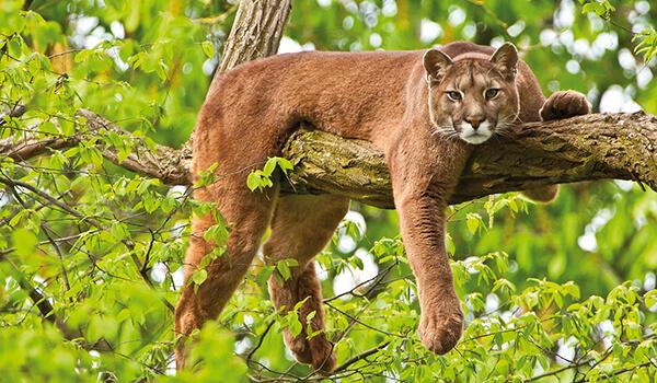 Фото: Горный лев из Красной книги