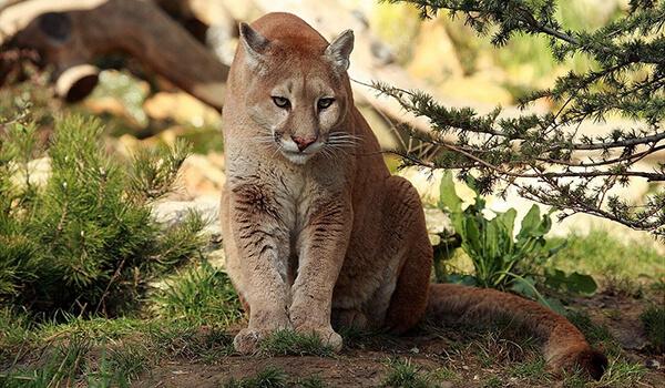 Фото: Горный лев в природе