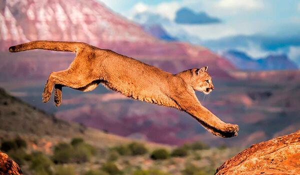 Фото: Американский горный лев
