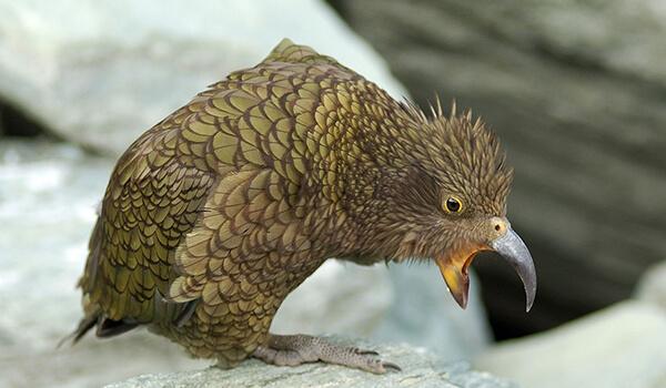 Фото: Как выглядит попугай кеа