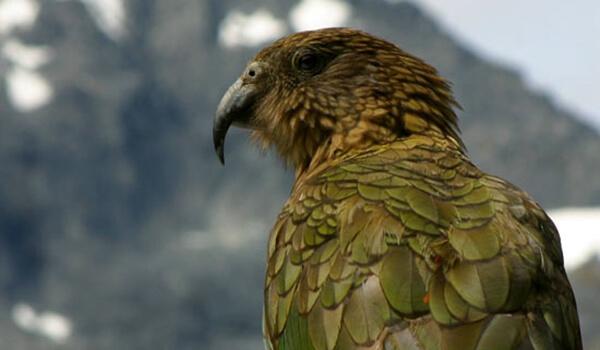 Фото: Новозеландский попугай кеа