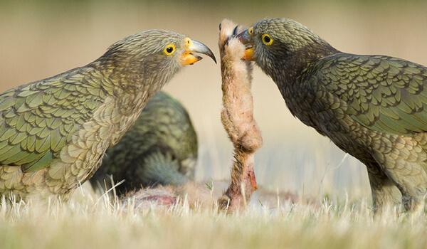 Фото: Хищный попугай кеа