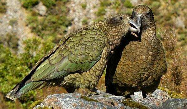 Фото: Самец и самка кеа
