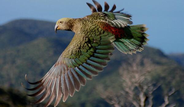 Фото: Попугай кеа в полете