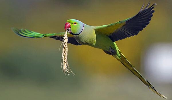 Фото: Кольчатый попугай в полете