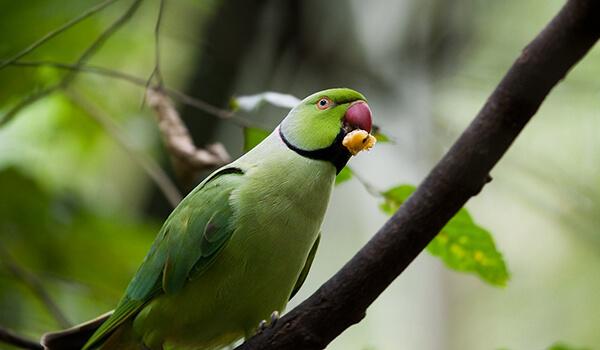 Фото: Индийский кольчатый попугай