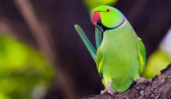 Фото: Кольчатый попугай