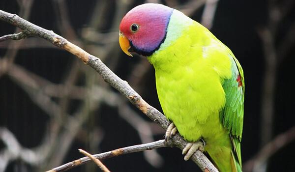 Фото: Красноголовый кольчатый попугай