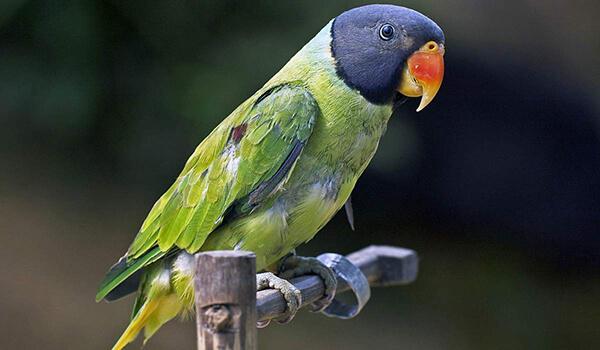 Фото: Китайский кольчатый попугай