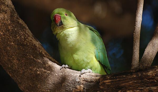 Фото: Как выглядит кольчатый попугай