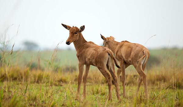 Фото: Детеныш конгони