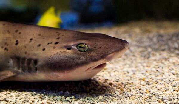 Фото: Черная кошачья акула