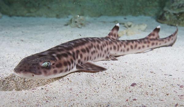 Фото: Как выглядит кошачья акула