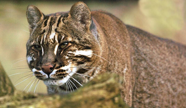 Фото: Опасная кошка Темминка