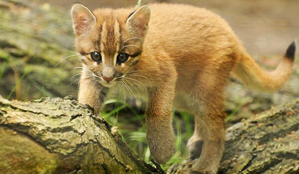 Фото: Котенок кошки Темминка