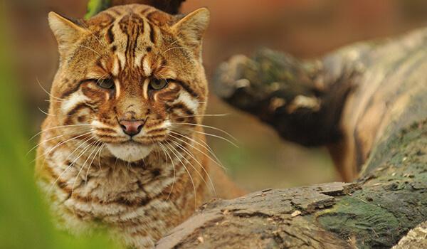 Фото: Кошка Темминка из Красной книги