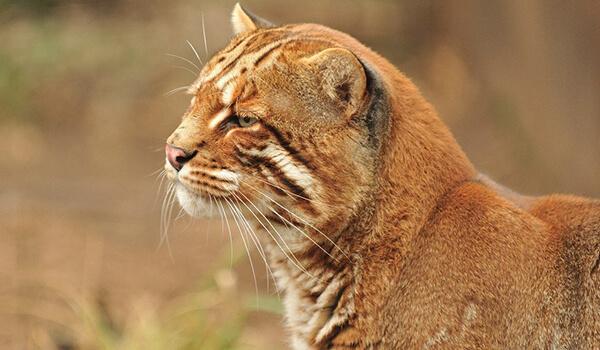 Фото: Золотистая кошка Темминка