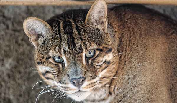 Фото: Как выглядит кошка Темминка