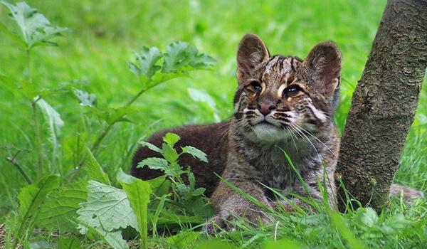 Фото: Кошка Темминка в природе