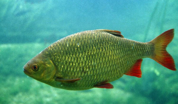 Фото: Рыба красноперка