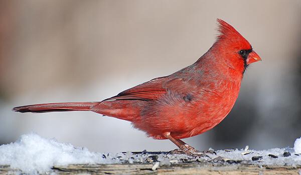 Фото: Красный кардинал зимой