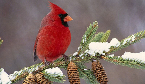 Фото Красный кардинал в Америке