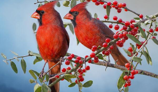 Фото: Самец и самка красного кардинала
