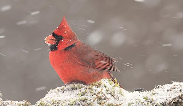 Фото: Птица красный кардинал
