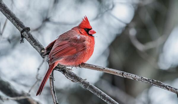 Фото: Как выглядит красный кардинал