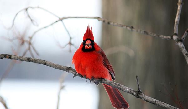 Фото: Красный кардинал