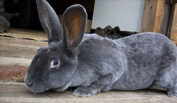 Фото: Кролик рекс в домашних условиях