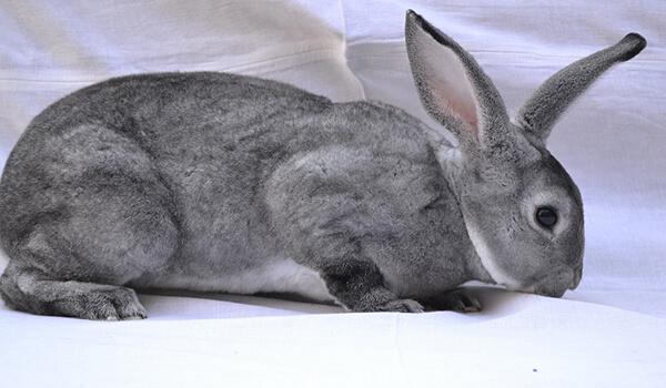 Фото: Большой кролик рекс