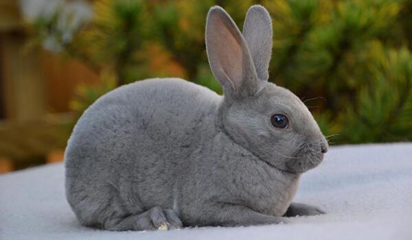 Фото: Как выглядит кролик рекс