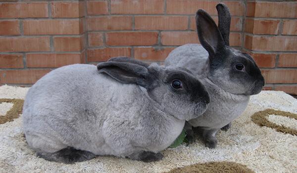 Фото: Самец и самка кролика рекс