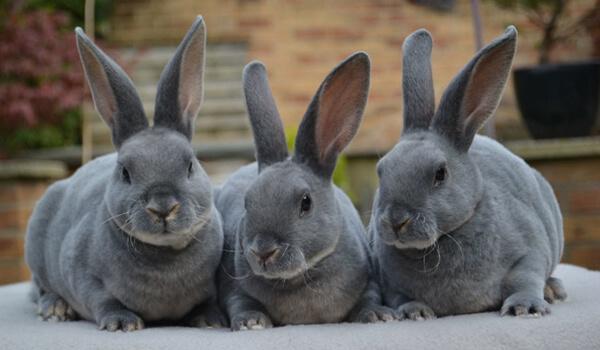 Фото: Кролики рекс