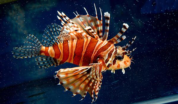 Фото: Морская крылатка