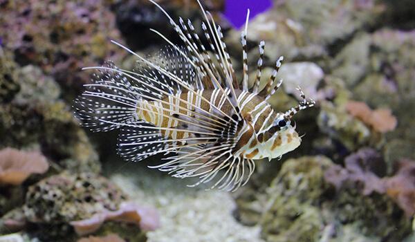 Фото: Рыба крылатка